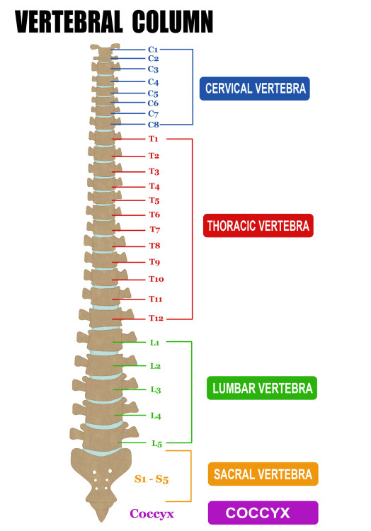 Basic Anatomy Of The Spine Dr Stefano Sinicropi