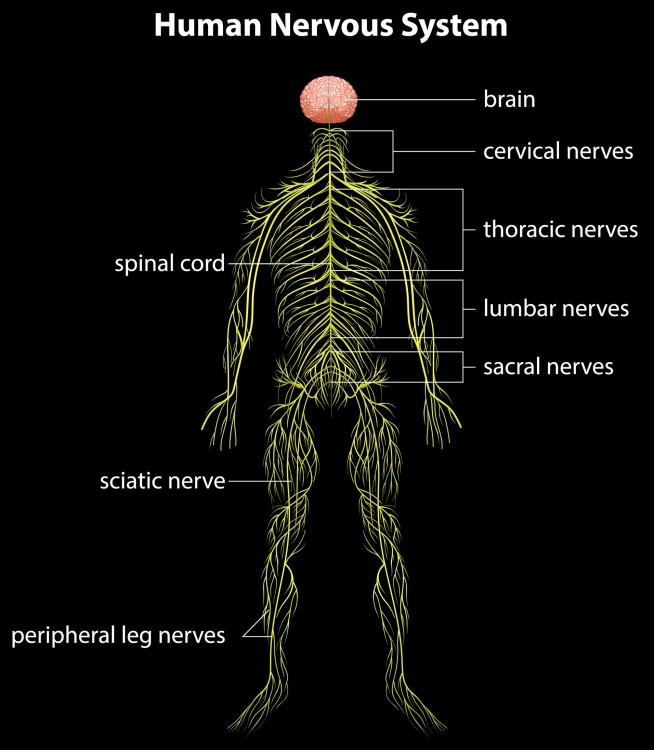 How Many Nerves Are In The Spine Dr Stefano Sinicropi